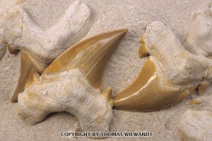 MOR-0008_fossil-shark-teeth.jpg